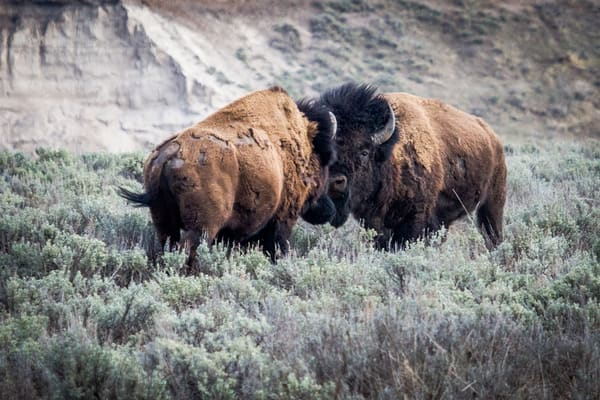 Photography of Buffalo Bison In Yellowstone