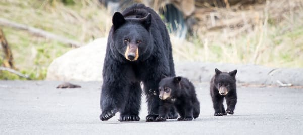 Black Bear and Cubs in Yellowstone National Park