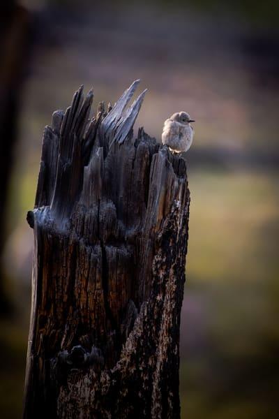 Blue Bird Female