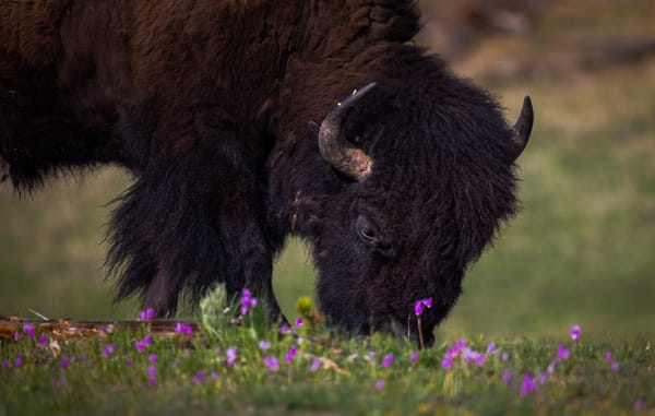 Photography of Buffalo Bison in the Flowers