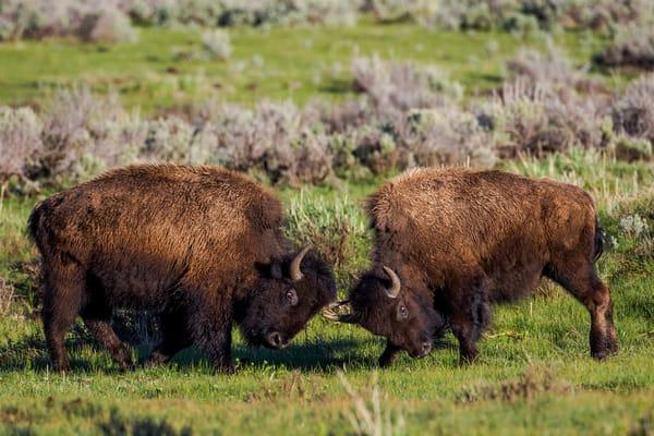 Buffalo Bison Bulls Fighting during the Rut