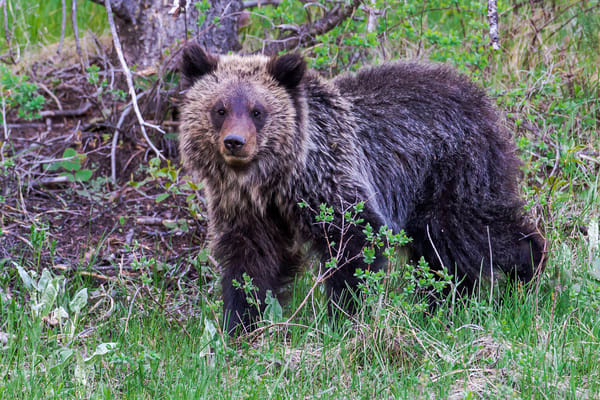 Photography of Yellowstone Bear Cubs