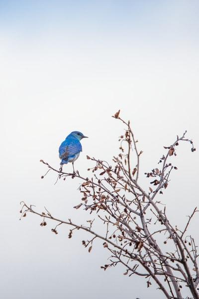 Blue Bird Photo