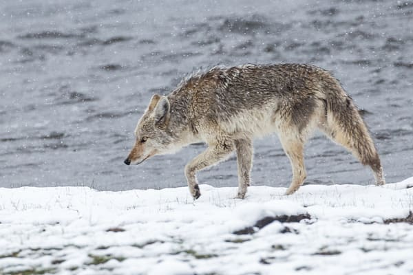 Photo of a Coyote In The Snow