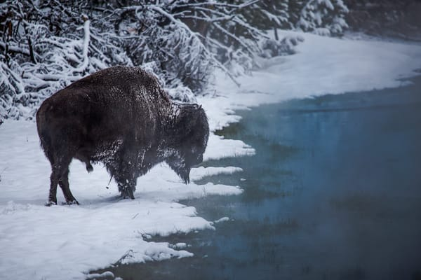 Buffalo Bison In the frosty Snow