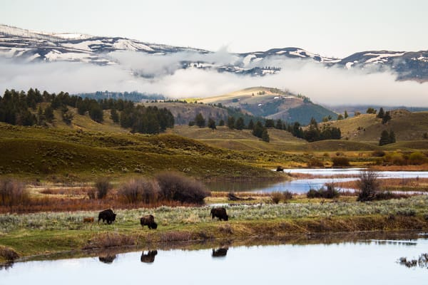 Buffalo Bison In Yellowstone Valley