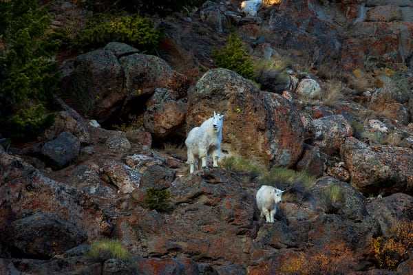 Mountain Goat In Yellowstone