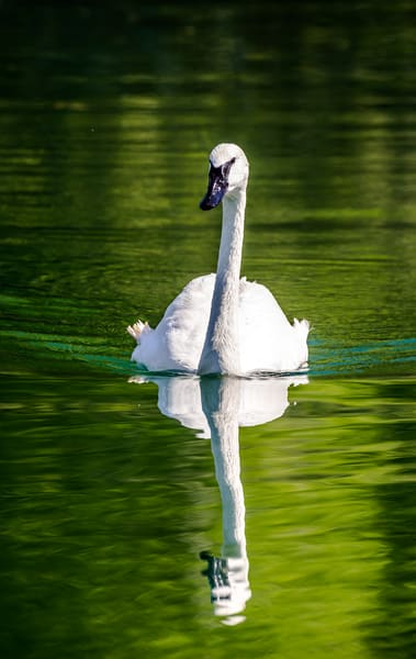 Trumpeter Swan and Refelction Photograph