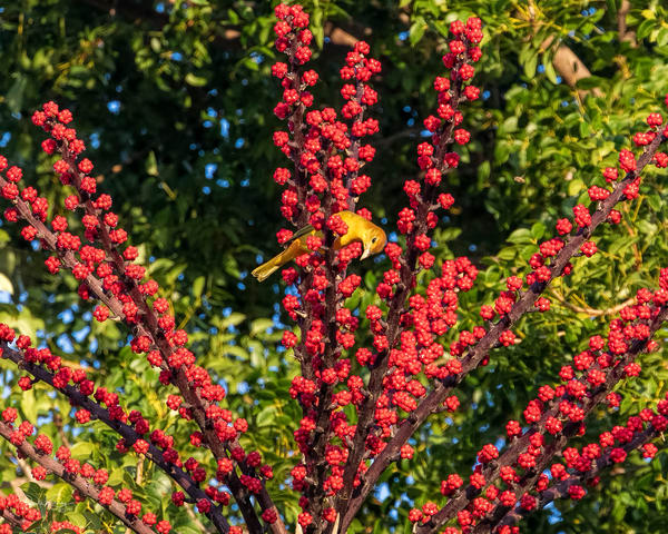 The Summer Tanager and the Red Dates