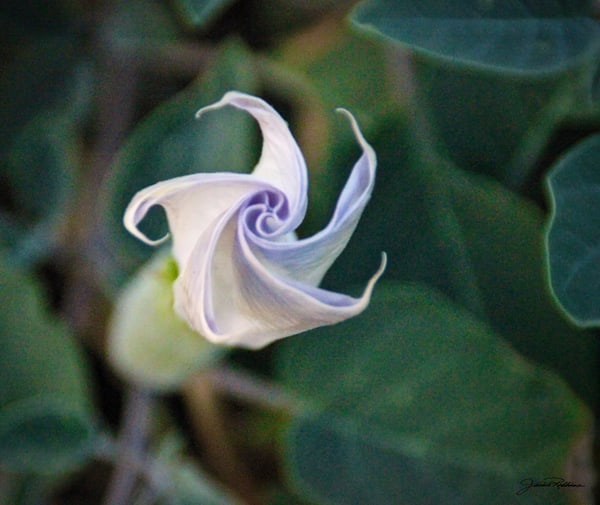datura, pinwheel, blossom, delicate, intriguing, jackierobbinsstudio, photographicprints, buyartonline