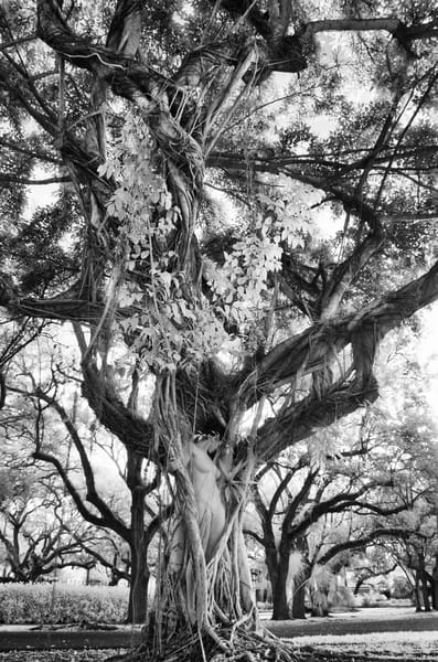 Hidden In Banyons Photography Art | nancyney
