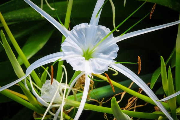 Lafreniere Park Beach Spider Lilies Photography Collection   Eugene L Brill