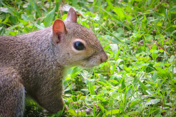Lafreniere Park Eastern Gray Squirrel Photography Collection   Eugene L Brill