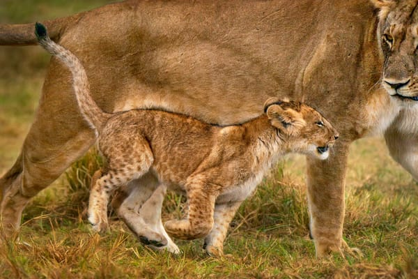 Wildlife African