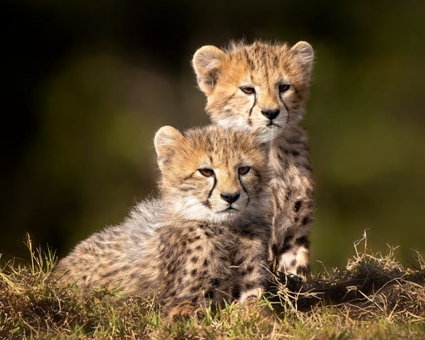 Two Cheetah Cubs Photography Art | Carol Brooks Parker Fine Art Photography