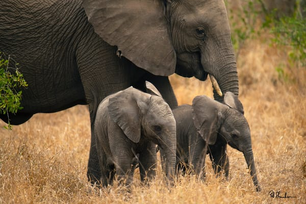 Elephant and 2 baby elephants photographed by Rob Shanahan in Africa.