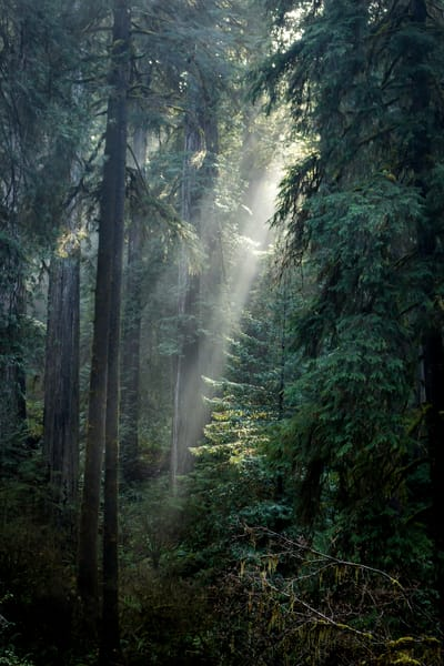 Sunbeams In The Redwood Forest Photography Art | Catherine Balck Photography