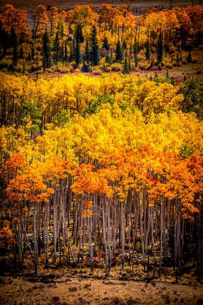 Aspen Trees Boreas Pass South Park Colorado