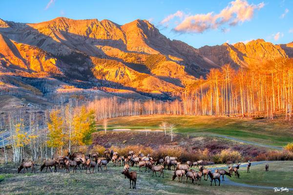 Elk Herd In Mountain Village Photography Art | Peter Batty Photography