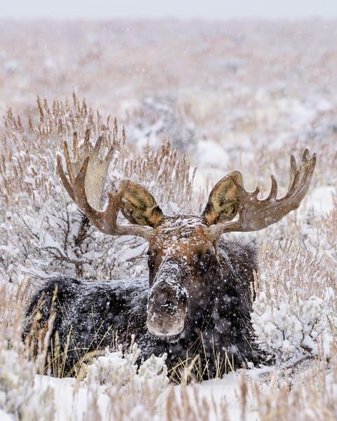 Bull Moose in snowstorm.