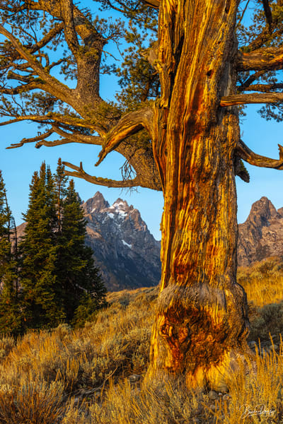 The Old Patriarch and the Teton Range II