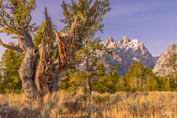 The Old Matriarch and the Teton Range