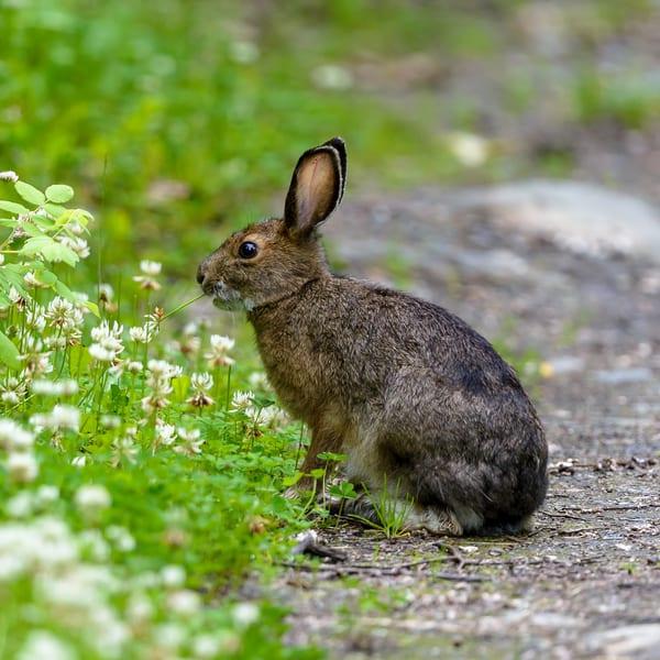 Rabbit In The Clover Art | Alaska Wild Bear Photography