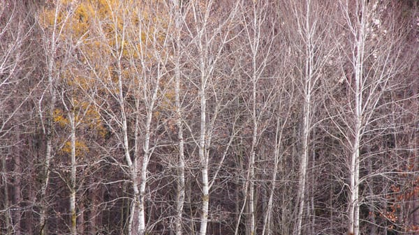 Birch Trees, November 2012, Proud Lake Recreation Area, Michigan