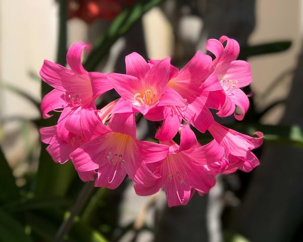 Belladona Lily
