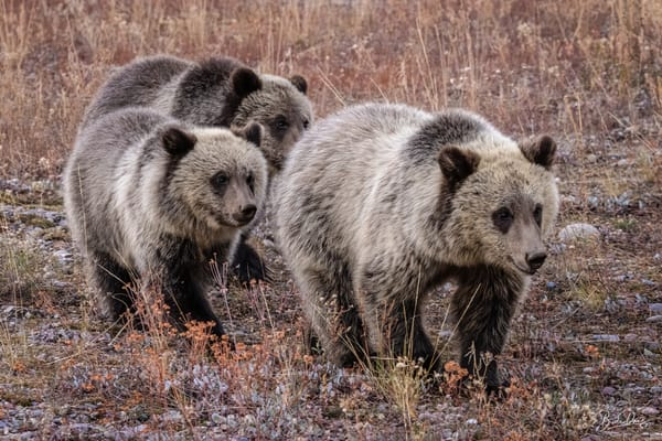Grizzly Bear 399's Cubs