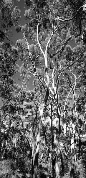 Australia Trees Black & White Photography Art   Julie Williams Fine Art Photography