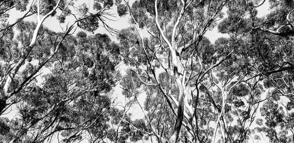 Array Of Trees B&W Photography Art | Julie Williams Fine Art Photography