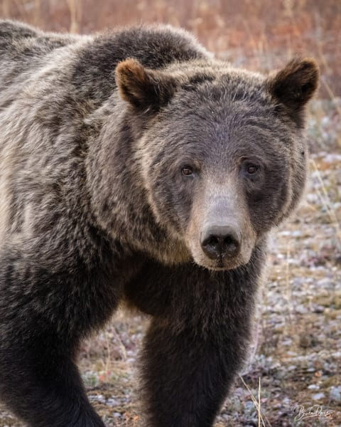 Grizzly Bear No.399 Up Close