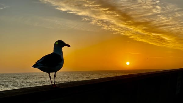 Seagull at Sunset