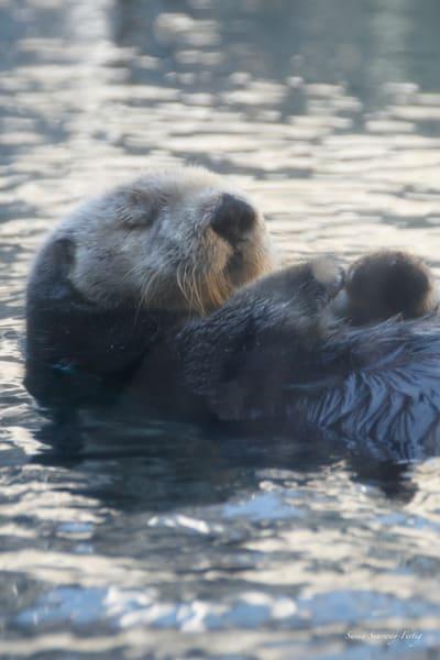 Sea Otter 5 Art | Susan Searway Art & Design
