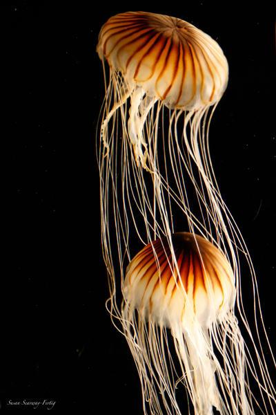 Dance Through Water | Jellies 36 Art | Susan Searway Art & Design