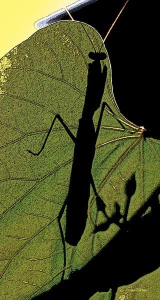 Praying Mantis on leaf, Mantis shadow on leaf, Mantis on wood