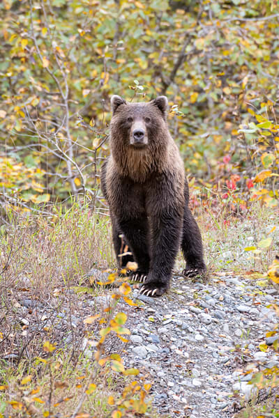 Meeting On The Trail Art | Alaska Wild Bear Photography