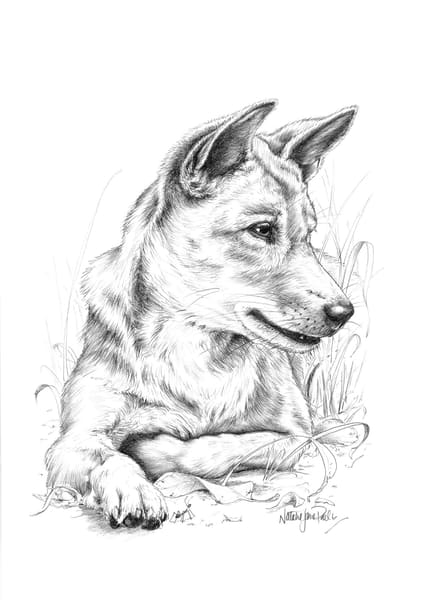 Morning Watch - Dingo Pencil Drawing