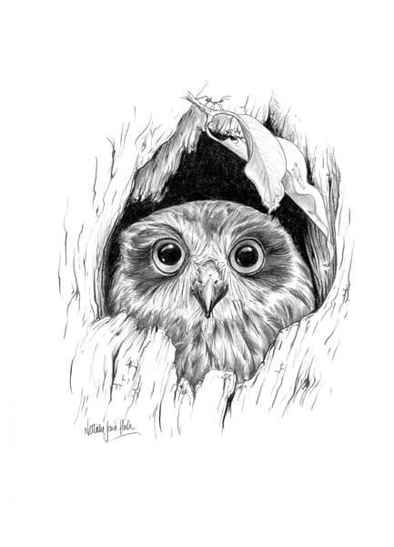 Boo Who? - Boobook Owl in tree hollow Pencil Drawing