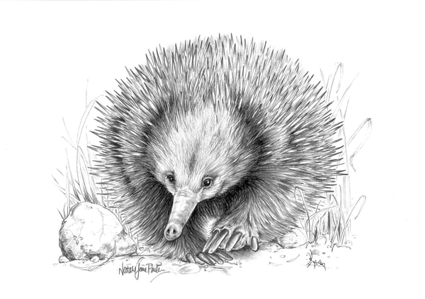 On the March - Echidna Pencil Drawing