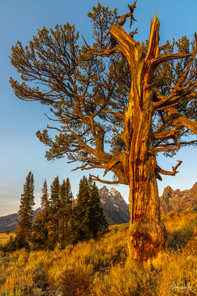 The Old Patriarch and the Teton Range IV