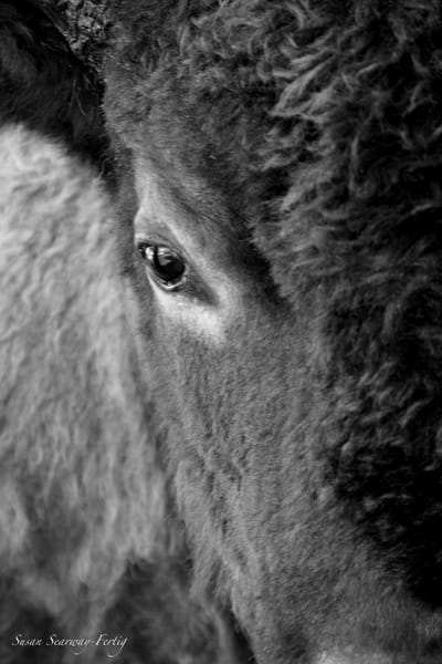 Bison | Buffalo 1 Art | Susan Searway Art & Design