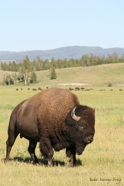 Bison | Buffalo 5 Art | Susan Searway Art & Design
