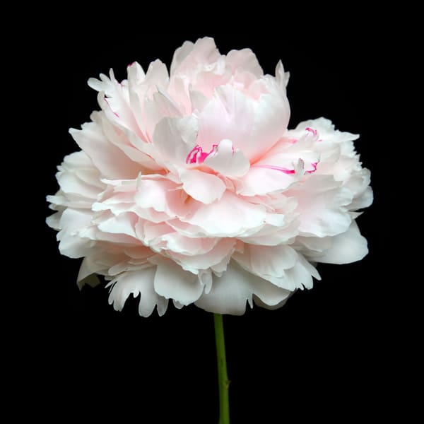 Peonies 1 Photography Art | MPF Gallery