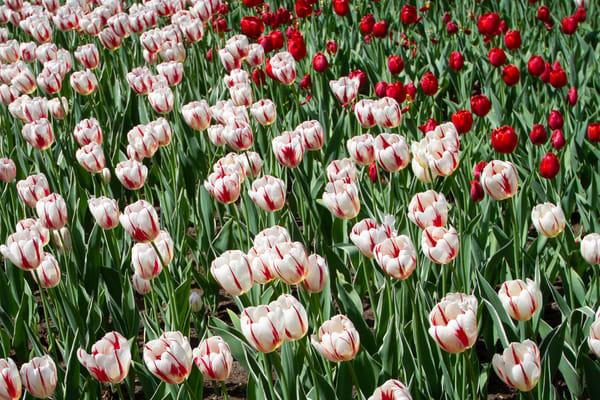 Ottawa Tulip Festival Photography Art   Julie Williams Fine Art Photography