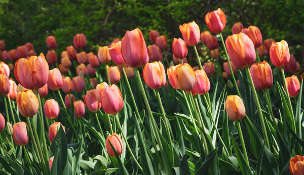 Orange Tulips Photography Art | Julie Williams Fine Art Photography