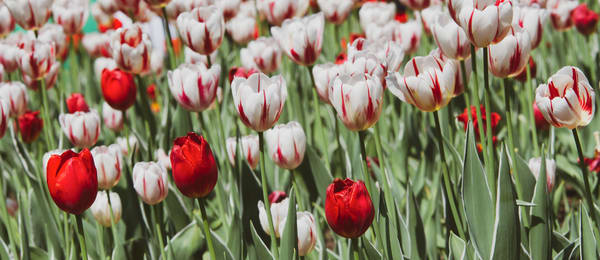 Red And White Tulips Photography Art | Julie Williams Fine Art Photography