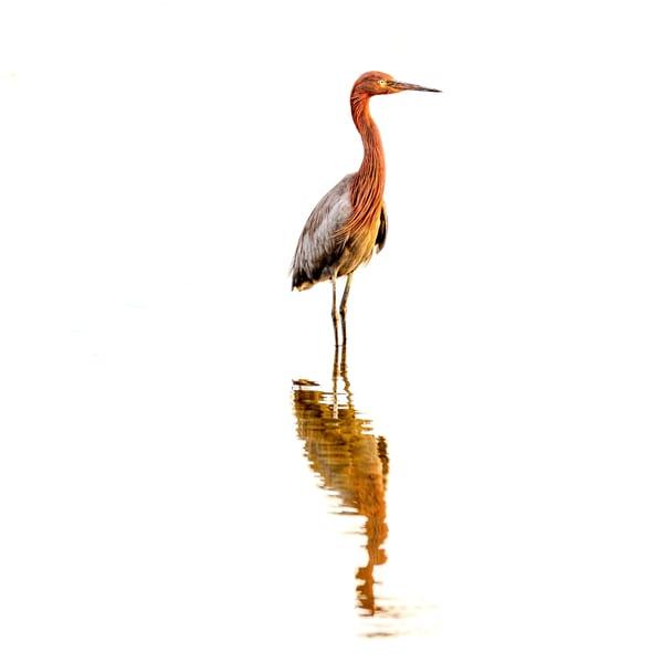 The Wader - Reddish Egret Fine-Art Print