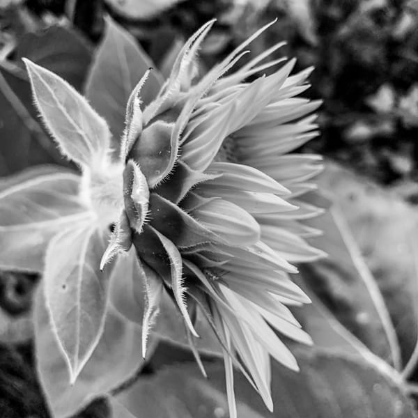 A Little Part Of Sunflowers (Black And White) Photography Art | Julie Williams Fine Art Photography